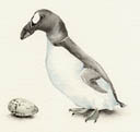 Great Auk and Egg